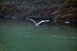 Majestic long legged and long necked freshwater coastal Heron bird with soft broad and long wings covered with light grey and white feathers flying over calm river next to river bank on warm sunny