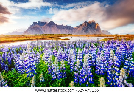 Majestic lupine flowers glowing by sunlight. Unusual and gorgeous scene. Popular tourist attraction. Location famous place Stokksnes cape, Vestrahorn (Batman Mountain), Iceland, Europe. Beauty world. #529479136