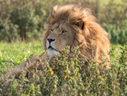 Majestic Male Lion Resting in Tall Grass