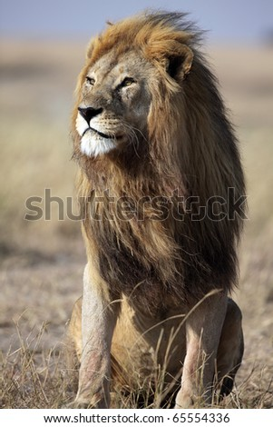 Majestic male lion with large golden mane gazing into the horizon, Serengeti National Park, Tanzania, East Africa