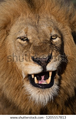 Majestic male lions in the wilderness of Africa - Greater Kruger National Park