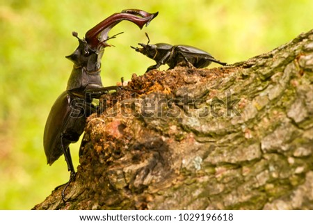 Majestic male stag beetle, Lucanus Cervus,  dominating over female stag beetle on the tree