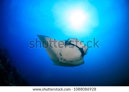 Majestic Oceanic Manta Ray swimming in a clear, blue ocean #1088086928