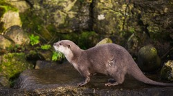 Majestic photograph image of an otter running around on rocks and stones with wet fur having a lot of fun in the zoo area allowed for it to live in even still in as a healthy animal treated well