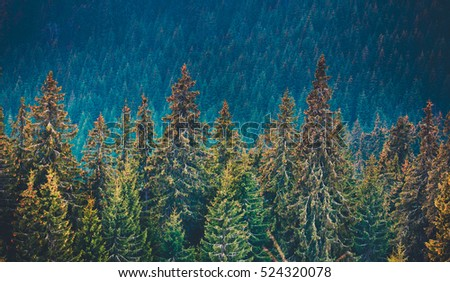 Majestic pine tree forest at mountain valley. Dramatic and picturesque morning scene. Carpathians, Ukraine, Europe. Beauty worldmountain landscape. Natural background #524320078