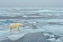 majestic polar bear walking across arctic ice floe
