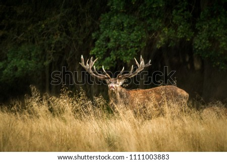 Majestic powerful adult red deer stag outside autumn forest in Dyrehaven, Denmark. Mating season, deer in natural forest habitat, big beautiful animal, Wildlife scene form nature. #1111003883