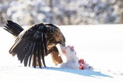 Majestic predator Golden eagle, Aquila chrysaetos, feeding on a Mountain hare carcass during a cold and harsh winter day near Kuusamo, Northern Finland.