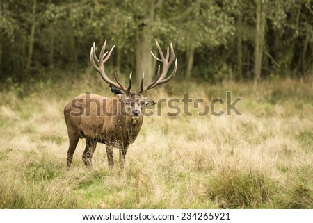 Majestic red deer stag in Autumn Fall landscape #234265921