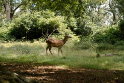 Majestic red deer stag in forest. Animal in nature habitat. Big mammal. Wildlife scene