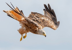 Majestic red kite flies at great speed through the air.