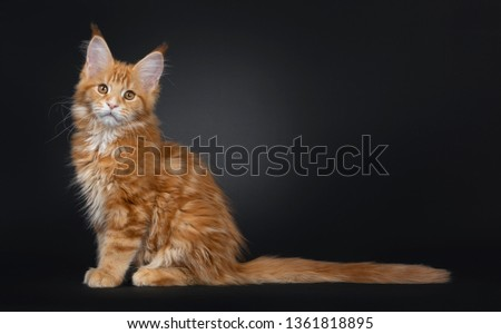 8ddfd40989 Majestic red Maine Coon cat kitten sitting side ways on edge. Looking  towards camera with