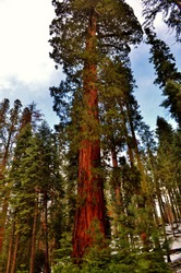 Majestic Redwood trees in the Mariposa Grove located in Yosemite national park.