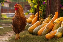 Majestic rooster on a rustic autumn background. Rooster standing near colorful pumpkins. Authentic country life autumn scene.