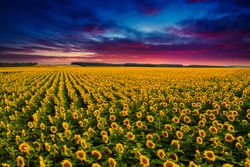 Majestic scene of vivid yellow sunflowers from above in the evening. Location place Ukraine, Europe. Photo of ecology concept. Agrarian industry. Perfect wallpaper. Drone photography. Beauty of earth.