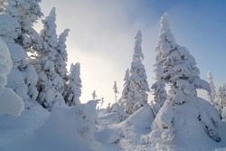 Majestic snow covred trees on the summit of Hog's back mountain, Chic-Chocs, Gaspesie, Quebec, Canada