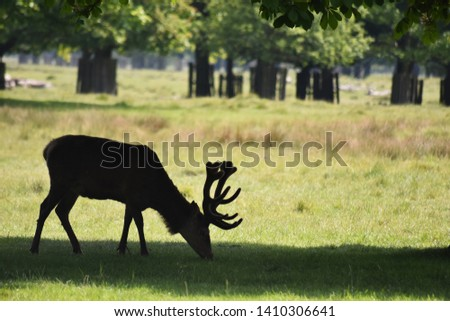 Majestic Stag silhouette. Stag grazing in shade of tree with large antlers. #1410306641