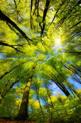 Majestic super wide angle upwards view to the canopy in a beech forest with fresh green foliage, sun rays and clear blue sky