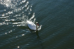 Majestic swan on blue lake with water waves. Beautiful wildlife photography. Bird watching ornithology. Graceful white feathered swan closeup photo. Swimming bird on sunny water surface reflections.