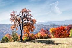 Majestic tree with orange leaves at autumn mountain valley. Dramatic colorful scene. Carpathian mountains, Ukraine. Landscape photography