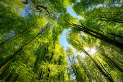 Majestic upwards view to the treetops in a beech forest with fresh green foliage, sun rays and clear blue sky