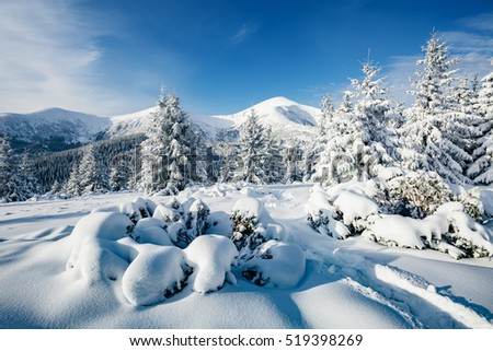 Majestic white spruces glowing by sunlight. Picturesque and gorgeous wintry scene. Location place Carpathian national park, Ukraine, Europe. Alps ski resort. Blue toning. Happy New Year! Beauty world. #519398269