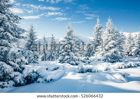Stock Photo Majestic white spruces glowing by sunlight. Picturesque and gorgeous wintry scene. Location place Carpathian national park, Ukraine, Europe. Alps ski resort. Blue toning. Happy New Year! Beauty world.