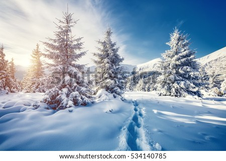 Majestic white spruces glowing by sunlight. Picturesque and gorgeous wintry scene. Location place Carpathian national park, Ukraine, Europe. Alps ski resort. Blue toning. Happy New Year! Beauty world
