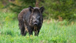 Majestic wild boar, sus scrofa, standing on the forest clearing and facing camera. Solitary massive animal in the wild nature. Cute adult hog on the pasture. Curious and harmless animal in open space.