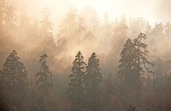 Majesty of nature: misty forest at sunrise. Himalayan pine-trees and rhododendrons.  Canon 5D Mk II.