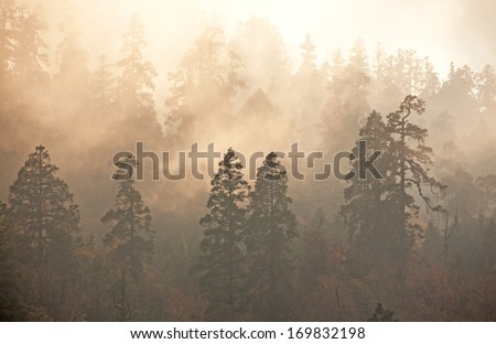 Majesty of nature: misty forest at sunrise. Himalayan pine-trees and rhododendrons.  Canon 5D Mk II. #169832198
