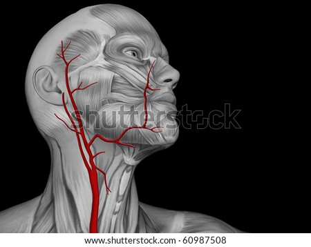 veins and arteries of neck. Major Arteries of the Neck