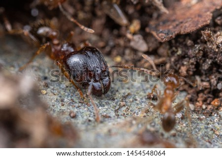 Major caste of Pheidole megacephala, the invasive coastal brown ant (or, big-headed ant) on a foraging trail #1454548064
