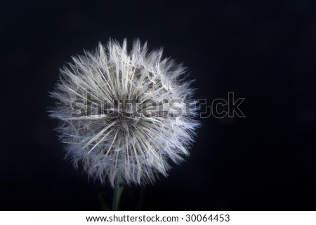 Make a wish dandelion bloom