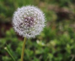 Make a Wish Dandelion fuzz ball