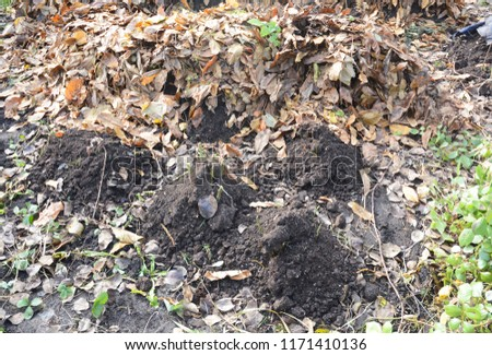 Making shelter for roses winter protection with dirt and fallen leaves. Insulate roses for winter.