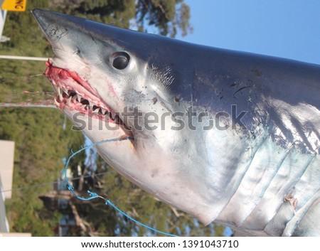 Mako Shark Australia, A sharp eye, a sharp tooth.