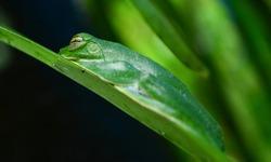 Malabar gliding frog resting on green leaf