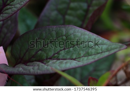 Malabhar Spinach Plant, or Basella alba - Kodi Paselakeerai - climber Called As Pasalai Keerai  In Tamil Nadu, India Zdjęcia stock ©