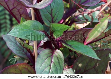 Malabhar Spinach plant or Basella alba - Kodi Paselakeerai - climber Called As Pasalai Keerai  In Tamil Nadu, India Zdjęcia stock ©