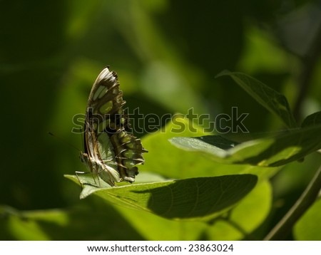 Malachite butterfly at rest Ometepe, Island, Nicaragua