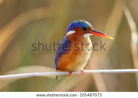 Malachite Kingfisher : Alcedo Cristata : South Africa