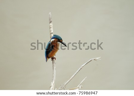 Malachite Kingfisher Juvenile