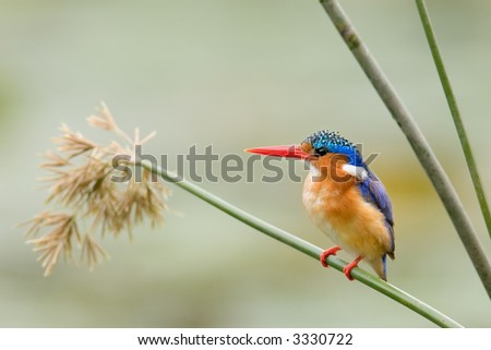 Malachite Kingfisher perched on a reed; Alcedo Cristata; South Africa