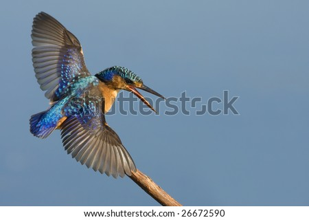 Malachite Kingfisher with open wings