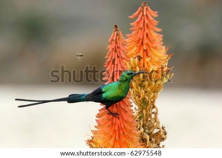 Malachite Sunbird and bees feeding on an Aloe Flower