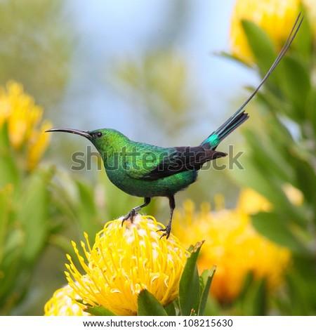 Malachite Sunbird on a protea