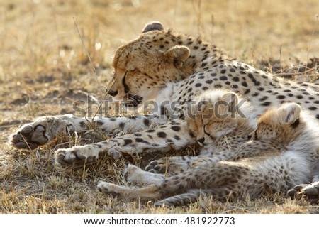 Malaika and her cubs sleeping #481922773