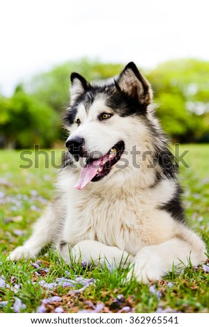 Malamute dog at park