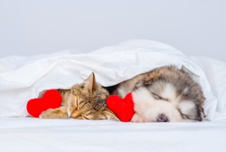 Malamute puppy and kitten sleep at home under a blanket with a red plush heart between them. Valentine's day card concept